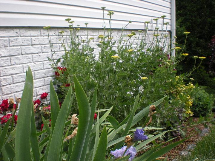 Golden Yarrow in Side Garden! how to garden beginner gardener