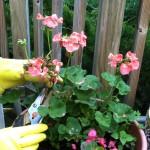 How to #Prune #Geranium #Flowers! #gardeningtips