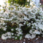 Fertilize #Azaleas in #Autumn 4 Gorgeous #Spring #Flowers! #fertilizing