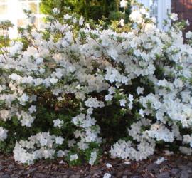 White Azaleas how to garden beginner gardener