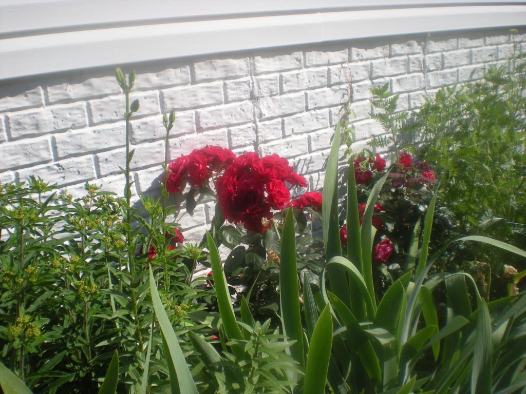 Side Garden (Milkweed, Irises, Roses, Golden Yarrow)