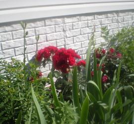 Side Garden (Milkweed, Irises, Roses, Golden Yarrow) how to garden beginner gardener