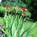 4  Hot Bearded #Irises in Full Bloom! #springblossoms