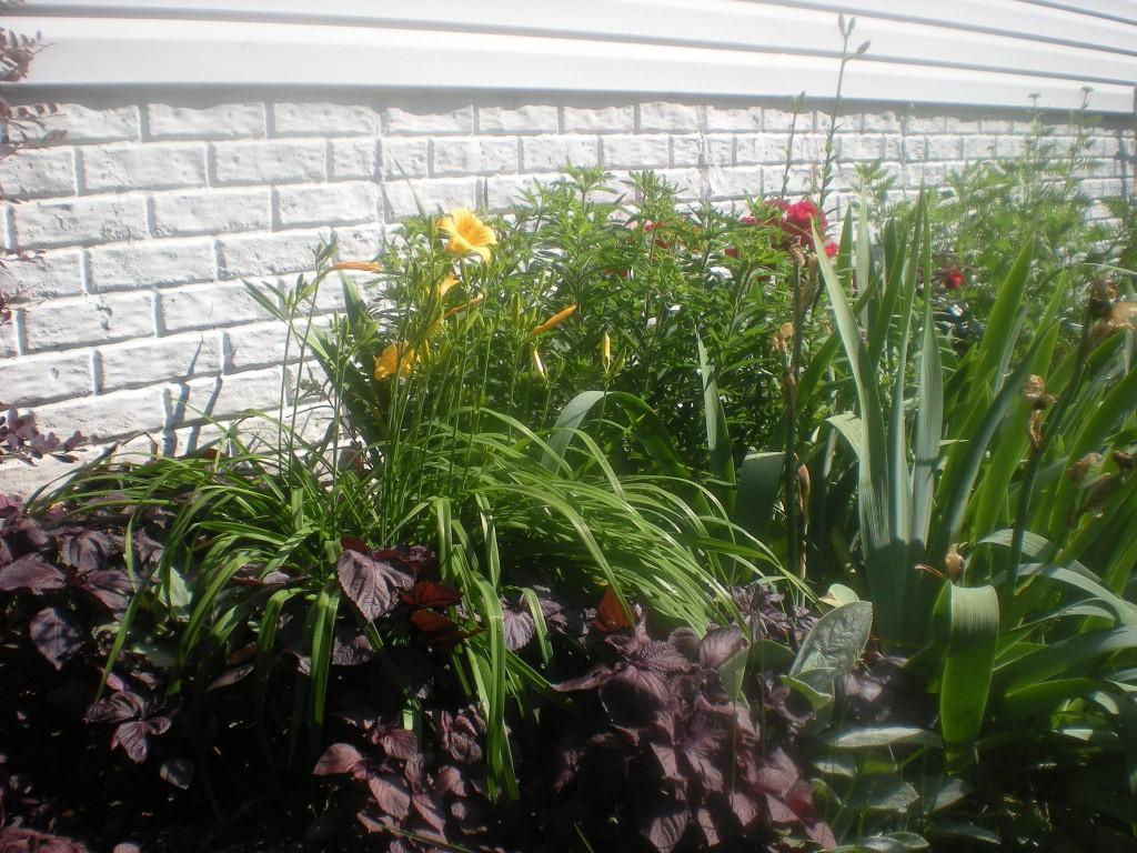 Side Garden (Tea Groundcover, Lillies, Milkweed Bush, Irises, Roses, Golden Yarrow)