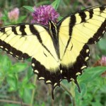 #Butterflies Love #Butterfly #Shrub! #pollin8rchat #butterflygardening