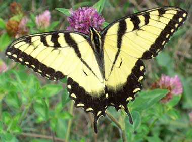 Eastern_Tiger_Swallowtail_butterfly [Photo Courtesy: wikipedia.org]