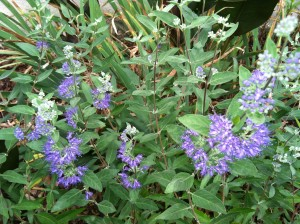 Blue Coreopsis Bush