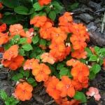 #Impatiens Love #Shady #Garden! #lowmaintenance #flowers