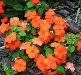 Peach Impatiens beginner gardener how to garden