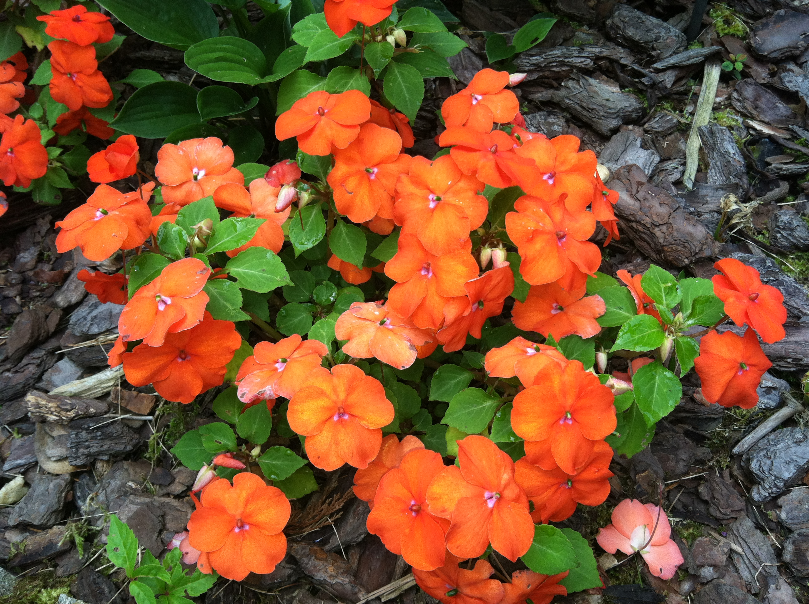 Peach Impatiens beginner gardener how to garden