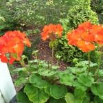 3 #GardeningTips to #Grow Big #Red #Geranium #Flowers!
