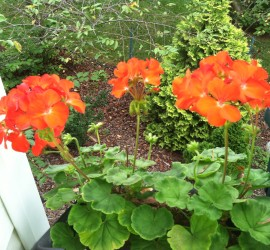 Red Geraniums how to garden beginner gardener