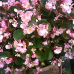 3 Reasons #Pink #Begonias Make U Smile! #flowers #flowerpower