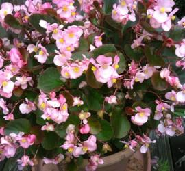 Pink Begonias how to garden beginner gardener