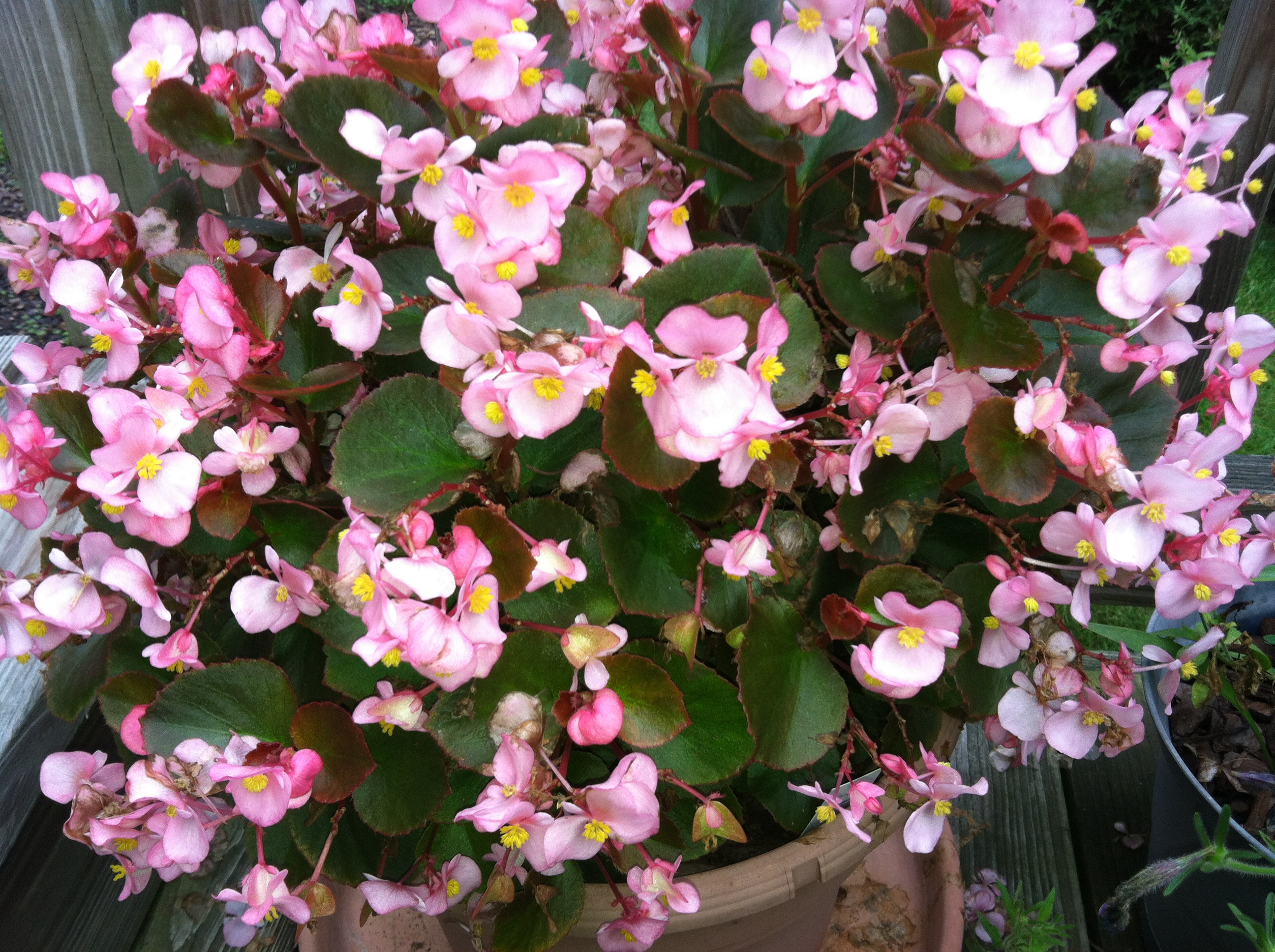 Pink Begonias how to garden beginner gardener