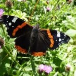#Butterflies Love #Butterfly #Shrub! #butterflygardening