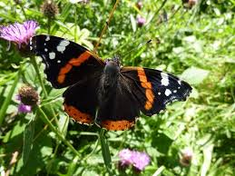 Red Admiral Butterfly [Photo Courtesy: butterfly.conservation.ie]
