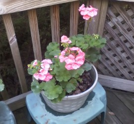Salmon Geranium how to garden beginner gardener