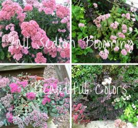 Fall Sedum Blooming how to garden beginner gardener