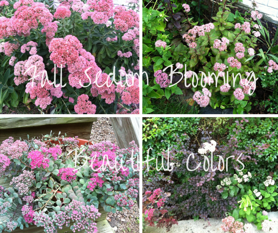 Fall Sedum Blooming how to garden beginner gardener