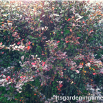4 Ways Barberry #Shrub Improves #Autumn #Landscape! #shrubs