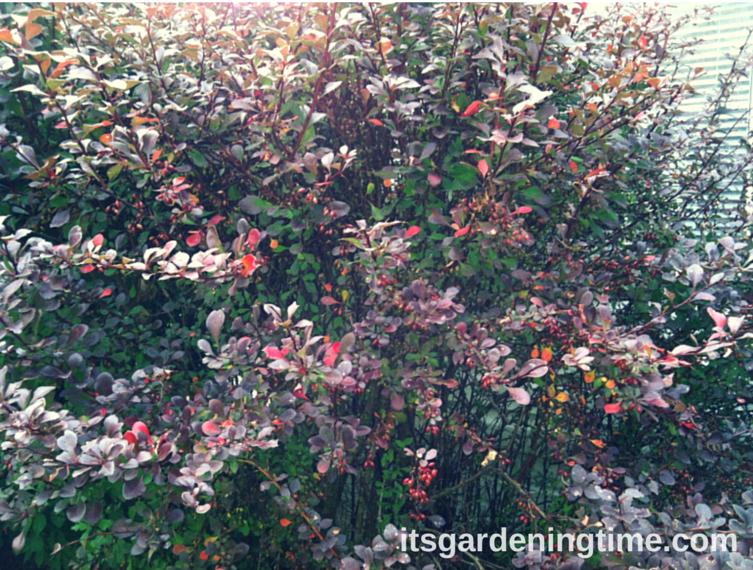 Burgundy Barberry Shrub how to garden beginner gardener