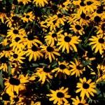 #1 Maintenance-Free #Perennial in #MidAtlantic is …