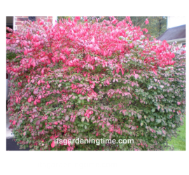 Burning Bush how to garden beginner gardener