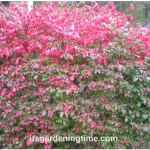 Brighten #Autumn #Garden w/ Burning Bush! #shrubs