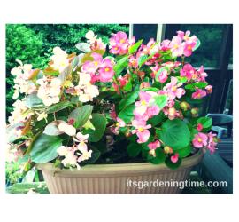 2 Begonias (Light Pink and Dark Pink) in Container how to garden beginner gardener