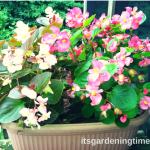 Bumper Crop of #Begonias! #garden #flowers
