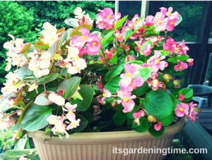 Combination of 2 Begonias (Light Pink and Dark Pink)