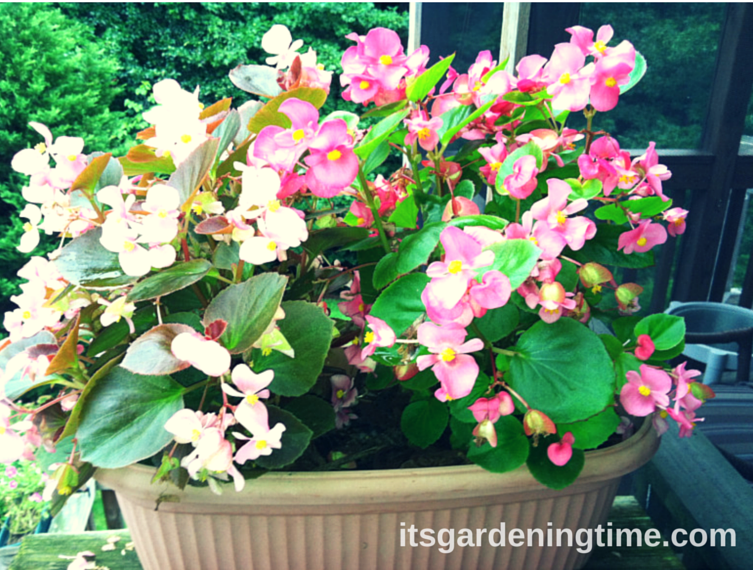 2 Begonias (Light Pink and Dark Pink) in Container how to garden beginner gardener