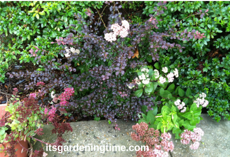 Combination Sedum, Barberry, Sedum Matrona, Azaleas how to garden beginner gardener