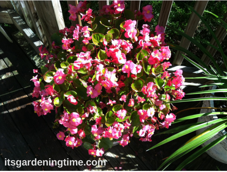 Deep Pink Begonias how to garden beginner gardener