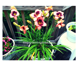 Day Lily how to garden beginner gardener