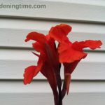 5 Tips to Get #Tropical #Canna to Bloom Each Year! #flowers