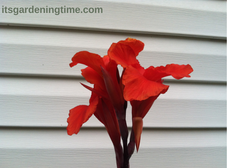 Tropical Red Canna how to garden beginner gardener