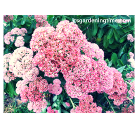 Sedum Autumn Joy how to garden beginner gardener