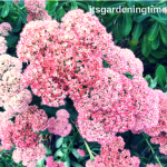 #Sedum #Autumn Joy Blooms Pretty #Pink #Flowers! #plantforbees