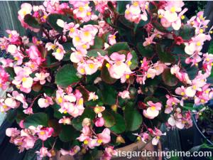 Light Pink Begonias