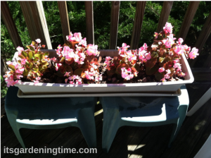 Pot of Light Pink Begonias