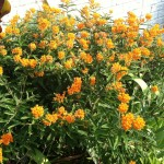 Save #Monarch #Butterfly! Plant #Milkweed! #butterflies