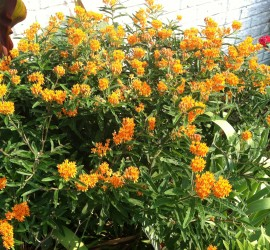 Milkweed Shrub how to garden beginner gardener