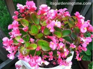 Deep Pink Begonias
