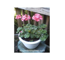 Salmon Geraniums how to garden beginner gardener