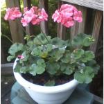 Salmon #Geraniums Like Part Sun! #flower #flowers