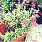6 Reasons to #Grow #Sedum #Succulents in #Containers! #containergardening