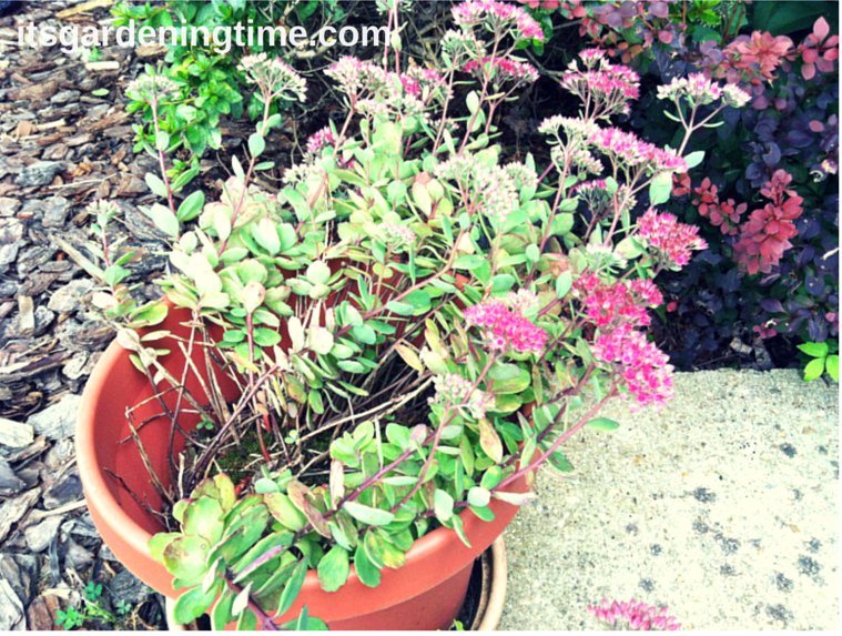 Container of Sedum Matrona how to garden beginner gardener