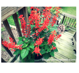 Red Salvia in Container how to garden beginner gardener